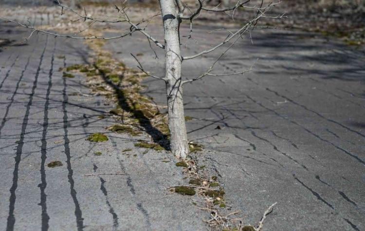 Дерево, пробившееся сквозь асфальт