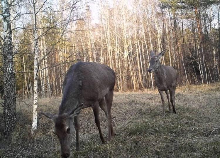 Животные Чернобыля