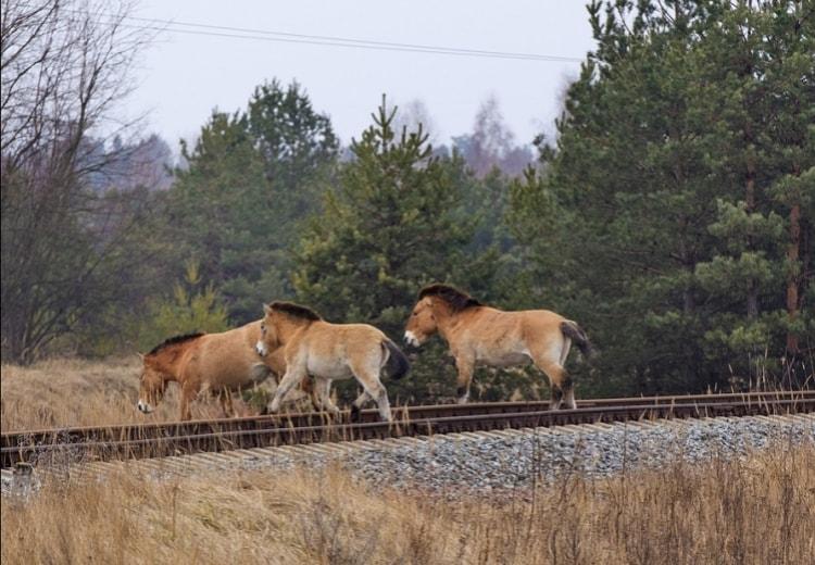 Чернобыль сегодня - животные Зоны отчуждения