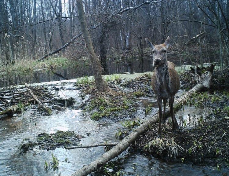 Животный мир Чернобыля