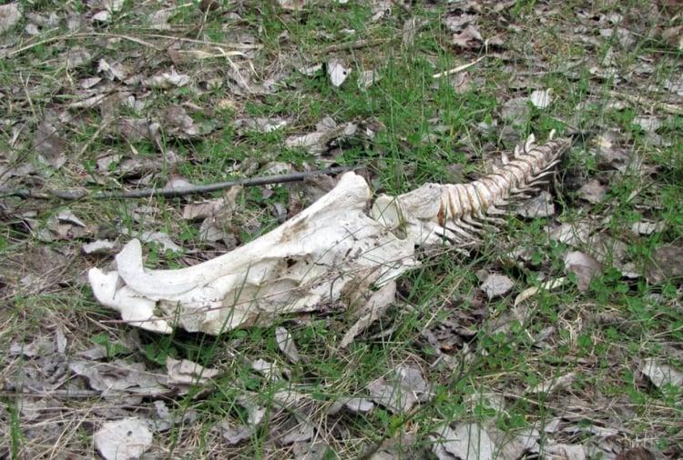 Скелет неопознанного животного
