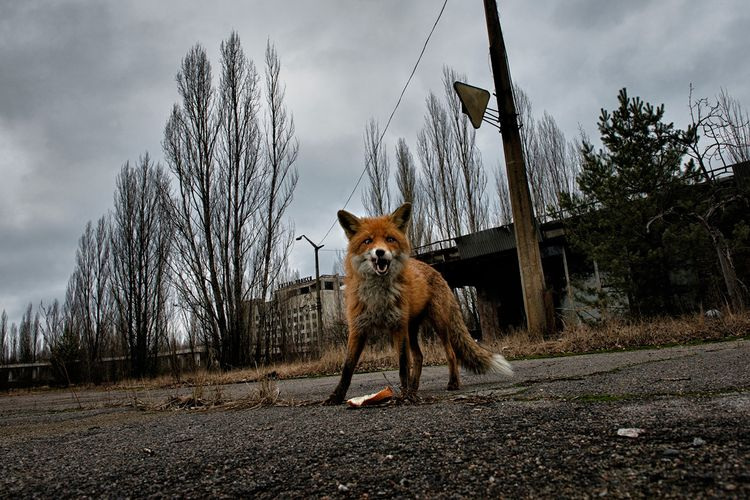 Лиса в Чернобыле