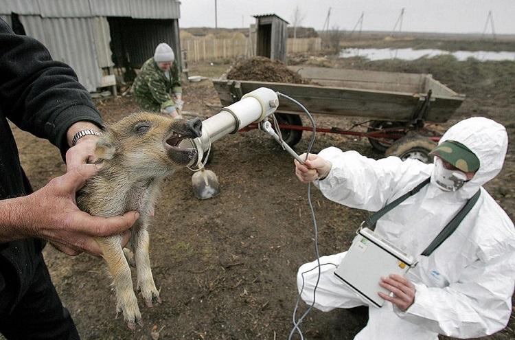 Обследование животных Чернобыля на радиационный фон