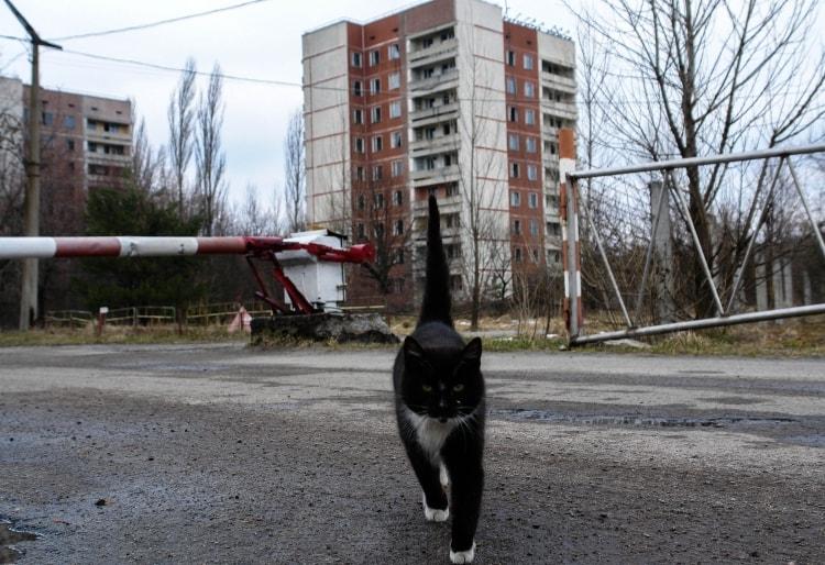 Кошка в Чернобыле