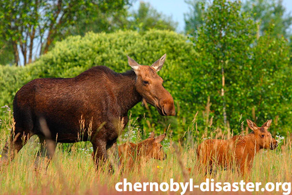 Chernobyl animals