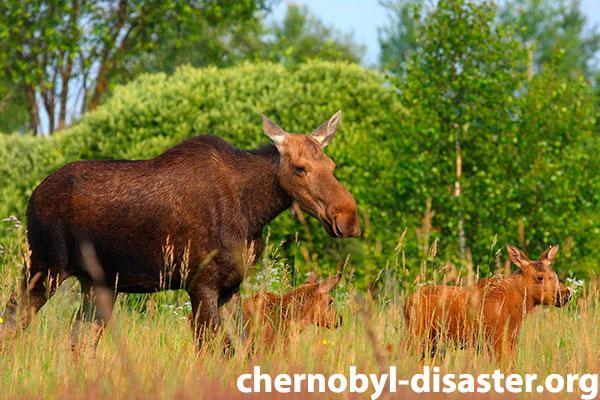 Chernobyl animals
