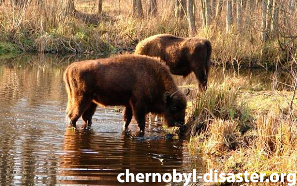 Chernobyl effects on animals