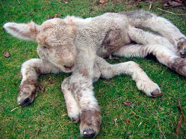 Chernobyl deformities in animals
