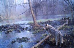 chernobyl_wildlife