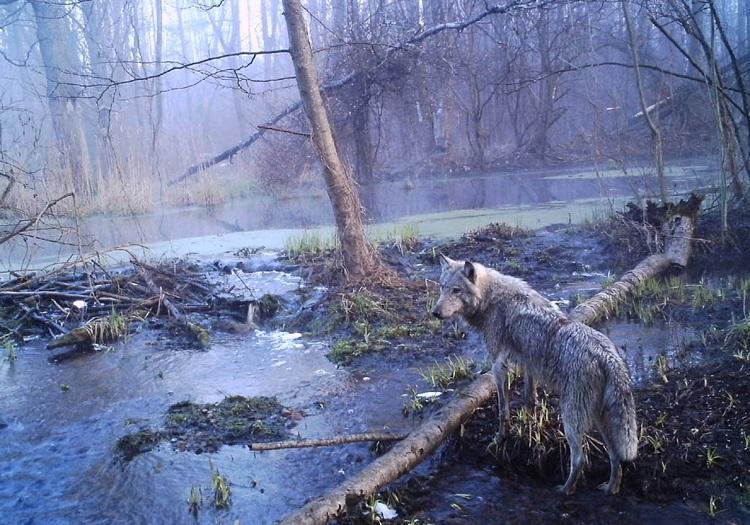 chernobyl_wolves