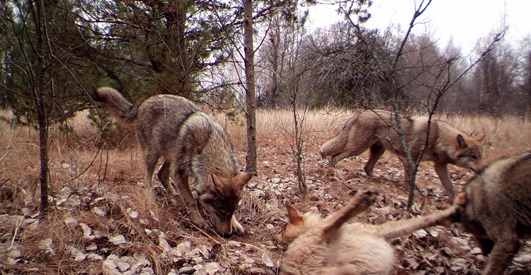 chernobyl_wolves11