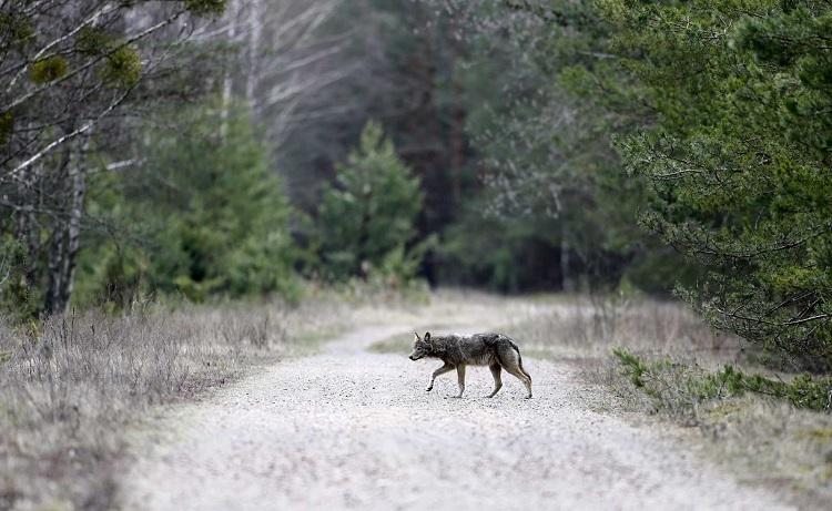 chernobyl_wolves2