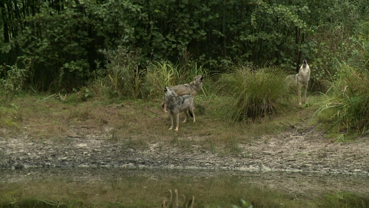 chernobyl_wolves3