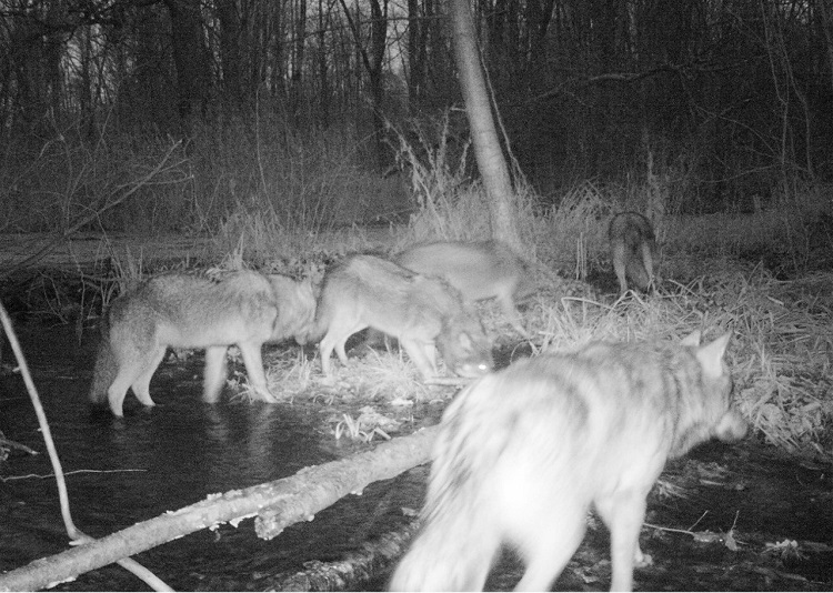 chernobyl_wolves8