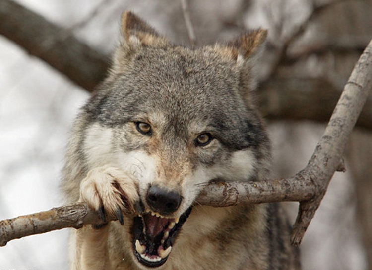 Chernobyl wolves: how they live and look the wolves in ...