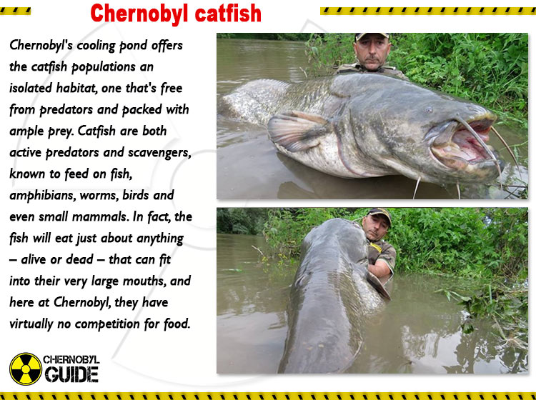 chernobyl fish pictures