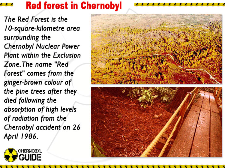chernobyl red forest pictures